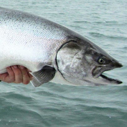 This chrome-bright chinook salmon is typical of the