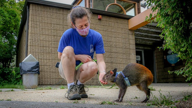 Keeper Becca Hollenbeck with Delilah, a red-rumped agouti from the Amazon, in May, before the zoo reopened to the public.