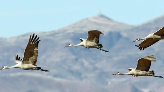 Sandhill cranes in flight zero-in on a landing at Bosque del Apache.