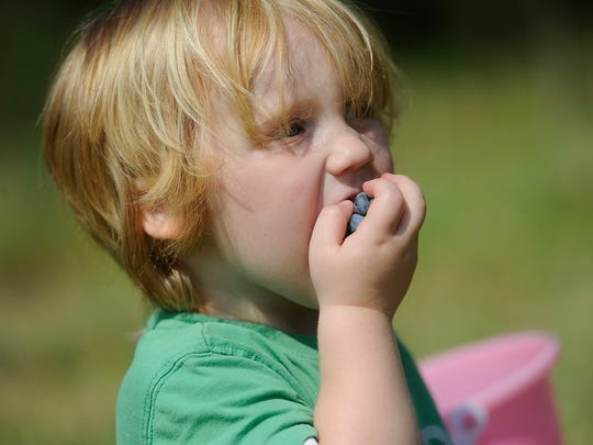 """""""Brisbane Hart, 2, of Springettsbury Township gets a mouthful of blueberries as he and his family pick them at Raven's Chestnut Sands Farm in Conewago Township on Friday, July 3, 2015.   Jason Plotkin - Daily Record/Sunday News"""""""