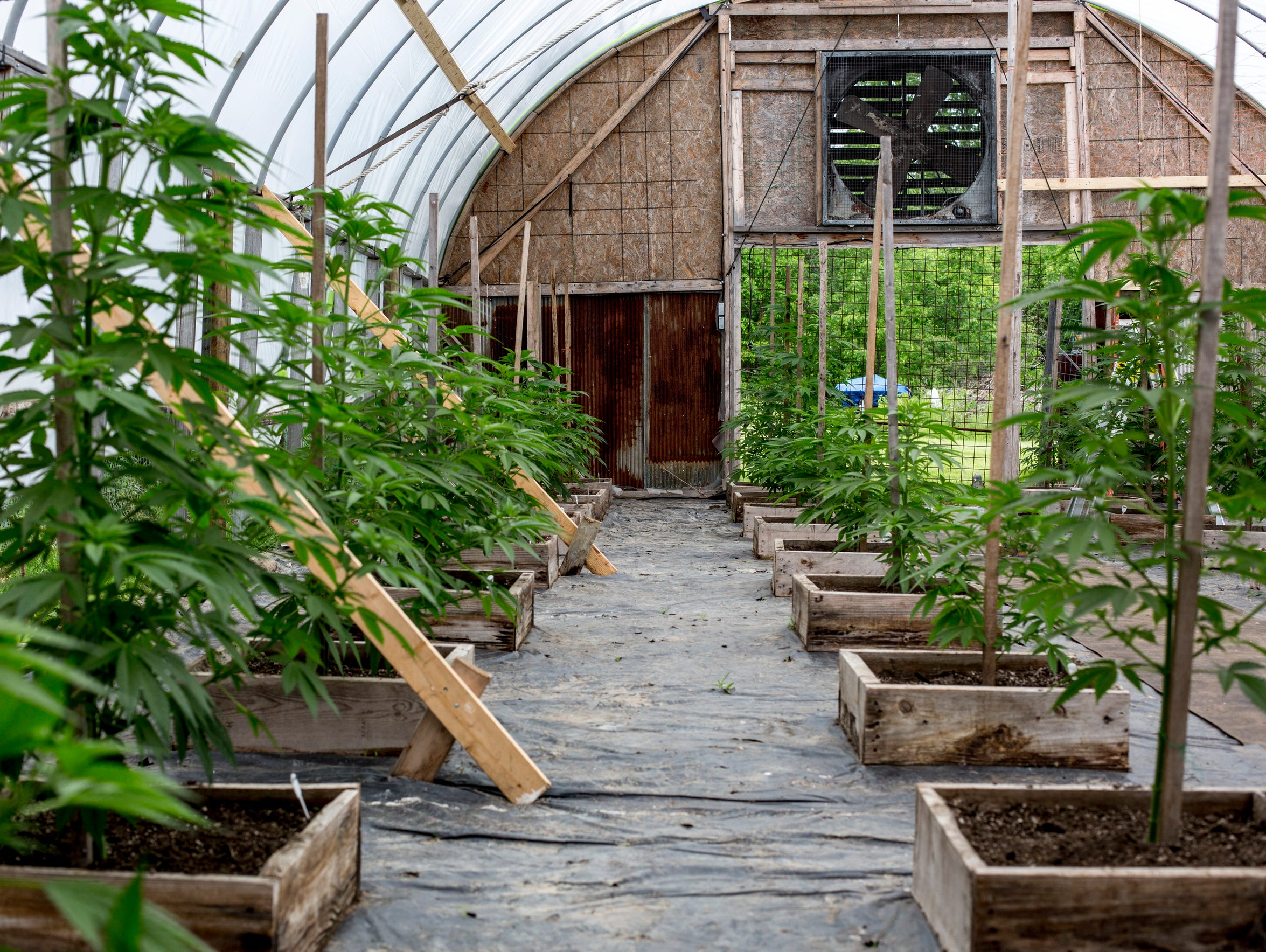 A variety of medical marijuana plants are seen growing
