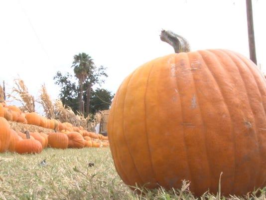 Mother Nature's Farm pumpkins in Gilbert