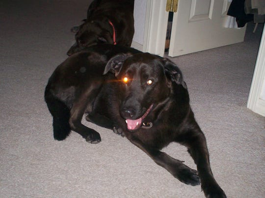 12/27/2009 Robert Sumrall's family dog Zulu who helped him survive a week in the snow covered mountains of New Mexico.