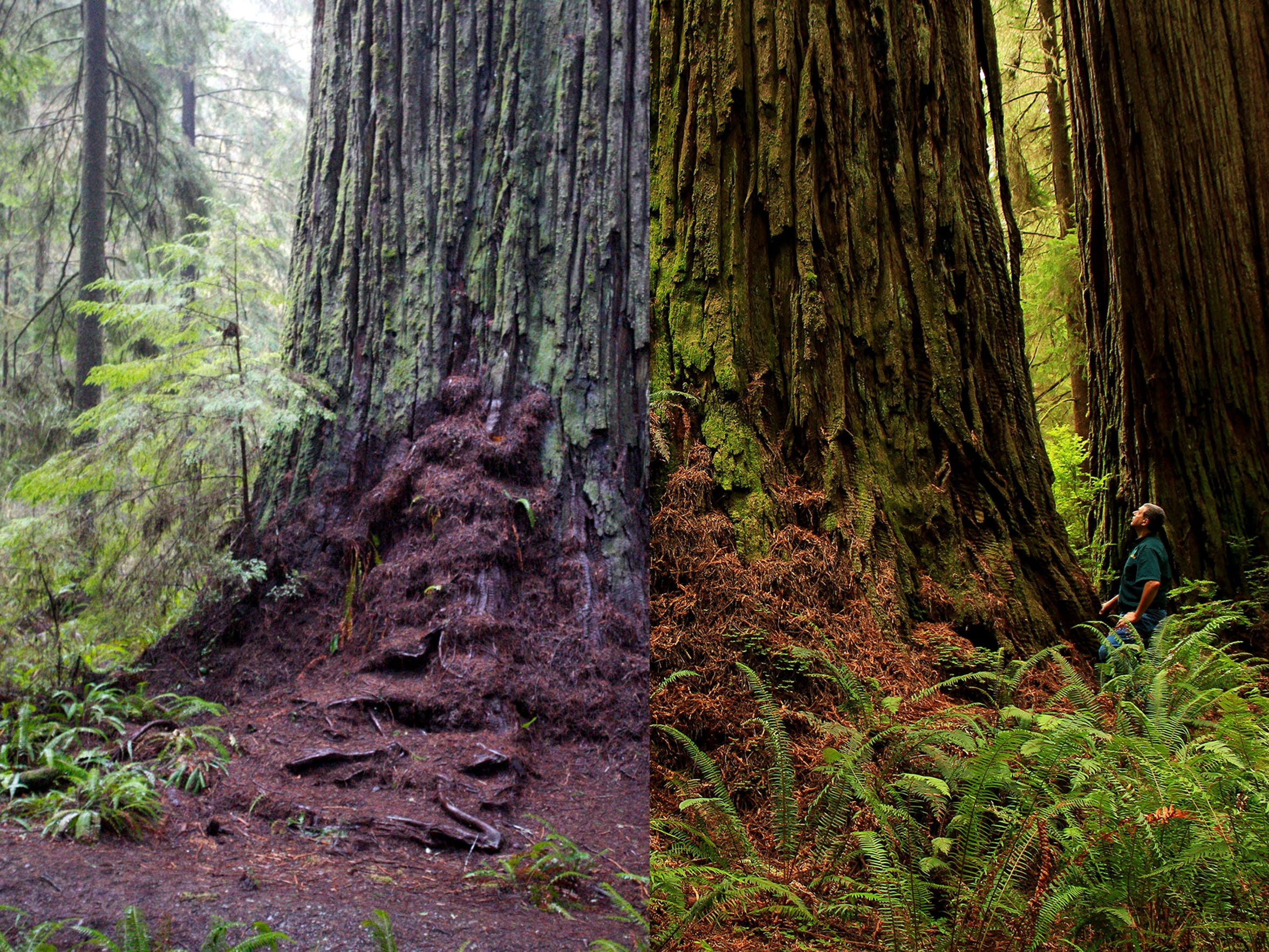 Left: Damage to ferns and roots around the tree in 2015. Right: A photo taken in 2010 showing ground cover before crowds arrived.