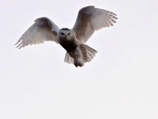 WDH 1205 Outdoor Rec Snowy Owl.jpg