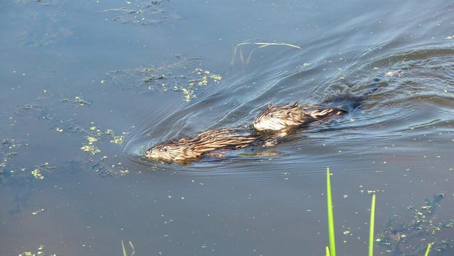 There will be a program on muskrats and otters at the Hudson Highlands Nature Musuem at 10 a.m. July 12.