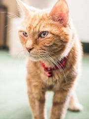 Danny Zuko is a 9-year-old, neutered male tabby who
