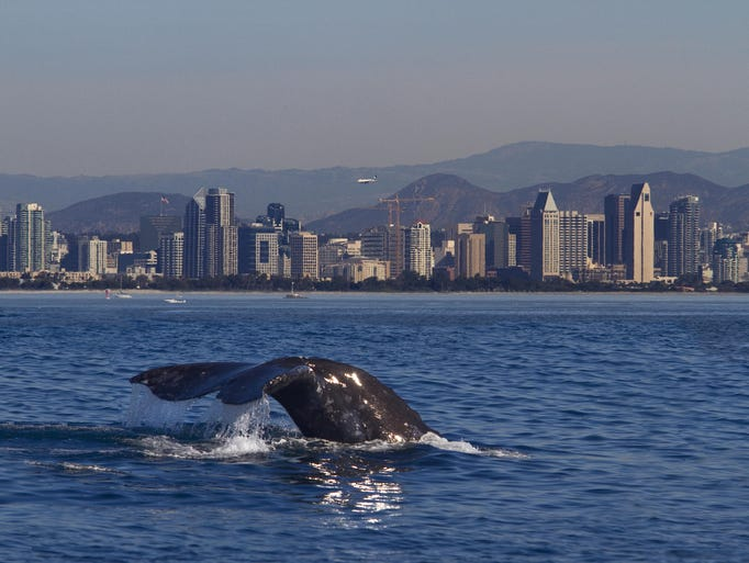 A gray whale with the San Diego skyline in the background.