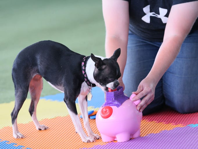 Penny, a Boston terrier, puts a pile of toy coins in
