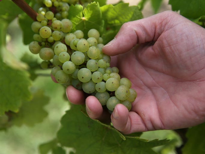 Wine grapes grow at Boundary Breaks on Seneca Lake.