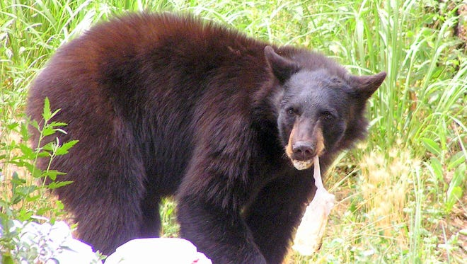 A black bear tears up bags of garbage pulled from a dumpster.