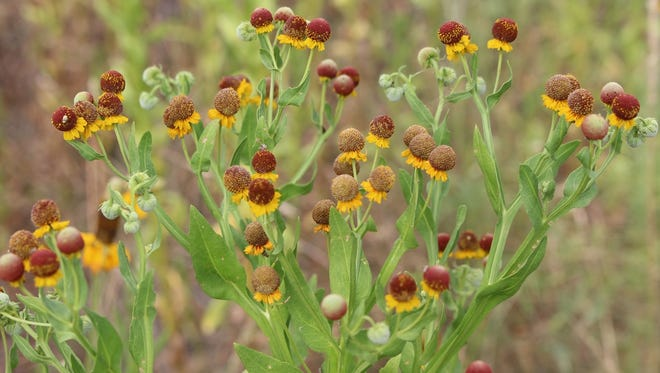 Small-headed sneezeweed grows statewide except for East Texas.