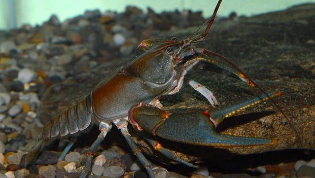 Big Sandy crayfish.