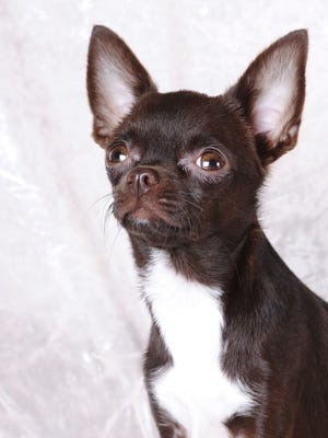 Small dogs just as likely to attack as large dogs. Two chihuahuas were quarantined this year in Jackson for biting someone.