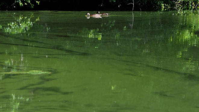 Ducks paddle through a thick patch of algae at the town landing for Santuit Pond off Timberlane Drive in Mashpee. Town officials have asked residents who live around the pond to play a role in cleaning up the water.