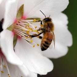 A bee is seen on the blossom of an almond tree near Modesto, Calif.