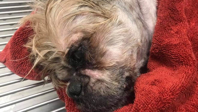 Monroe was brought to Lucky Paws Rescue by a volunteer and was put in hospital on July 16, 2018.