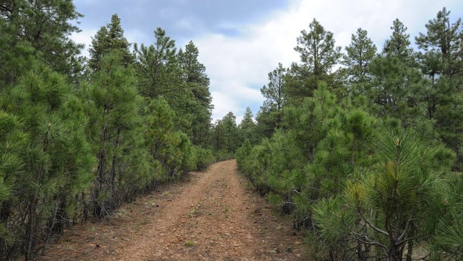 """The """"green tunnel."""" An abundance of pines on both sides of the 235 Road Trail creates a """"green tunnel"""" that leads to a scenic confluence of three canyons."""