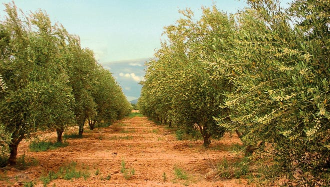 The Queen Creek Olive Mill will set up a grill in the grove on May 26.
