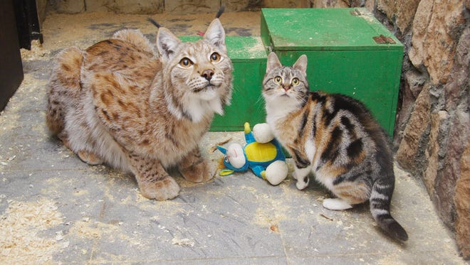 Lynx Linda and domestic cat Dusja play together at Russian zoo.