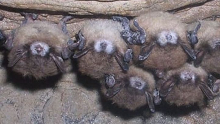 Bats with White Nose Syndrome.