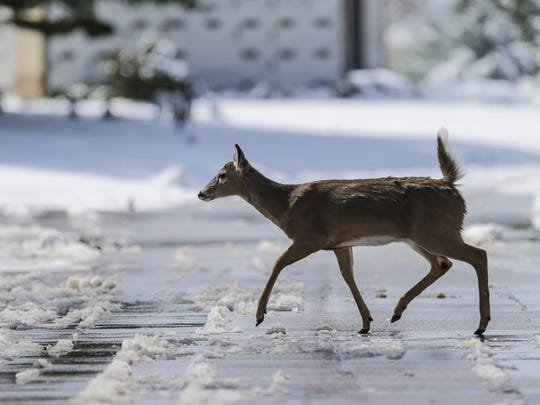 Deer forage for food and roam freely around Crown Hill Cemetery and Funeral Home in Indianapolis on Sunday, March 25, 2018.