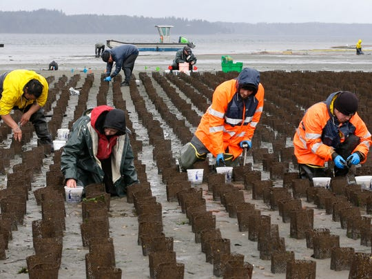 In this March 23, 2015 file photo, Taylor Shellfish Farms workers place small geoduck clams into mesh tubes that allow the geoduck to burrow in the sand and grow while being protected from predators near Harstine Island, Wash. A national food group is suing the U.S. Army Corps of Engineers, alleging it is allowing commercial shellfish aquaculture to expand in Washington state without adequate environmental scrutiny. The lawsuit was filed Thursday, Aug. 10, 2017 in federal court in Seattle.