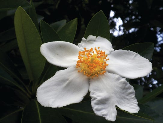 Loblolly bay blooms are typically high in the tree
