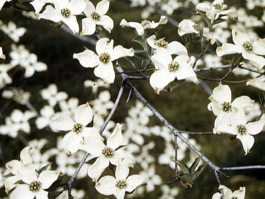 In recognition of Arbor Day 2017, the Union County Board of Chosen Freeholders is again partnering with the Union County Shade Tree Advisory Board to sponsor the annual Arbor Day Tree Planting Program for schools. One-hundred free trees will be given away to schools. This year's tree is the Flowering Dogwood.