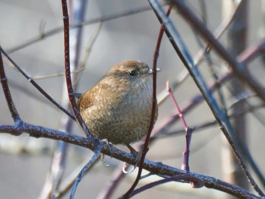 winter wren2