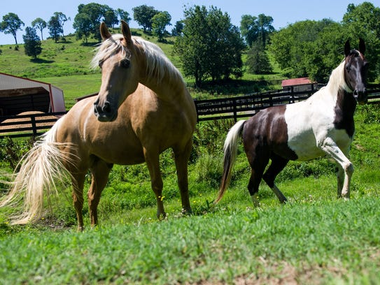 Horses swish their tails in their pasture in Bethesda,
