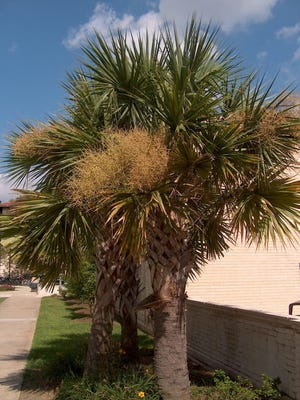 Cabbage palm (Sabal palmetto) is a good choice for a north Louisiana palm.