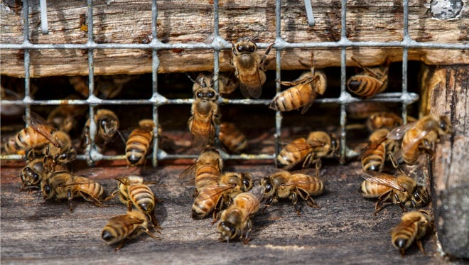 Honeybees work in a hive located in an apple grove at Hartland Orchard, a family farm near the the Blue Ridge Mountains in Markham, Va.  A U.S. survey of beekeepers released on Thursday, May 25, 2017 found improvements in the outlook for troubled honeybees. Winter losses were at the lowest levels in more than a decade with only 21 percent of the colonies dying.