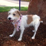 Gidget, a 7-year-old Jack Russell terrier, went missing from her Pennsylvania home outside of Philadelphia on April 22.