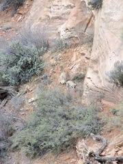 Two Big Horn Sheep down slope from Canyon Overlook Trail.
