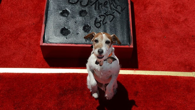 """Uggie, the dog who starred in the Academy Award-winning film """"The Artist,"""" is honored with a hand and paw print ceremony outside Grauman's Chinese Theatre in Hollywood, California, June 25, 2012."""