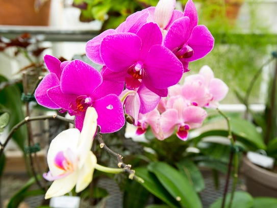 IMA Orchids/Color Me Orchid