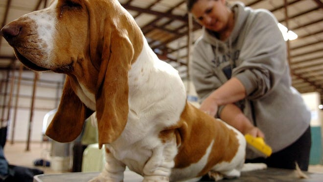 A basset hound chills out before going to see the judges in this file photo from the Faith City Kennel Club All-Breed Conformation.