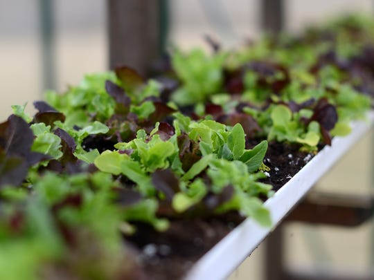 Lettuce is grown in a greenhouse Sunday, Mar. 13, at the Dancing Meadows Homestead farm in Cottrellville Township.