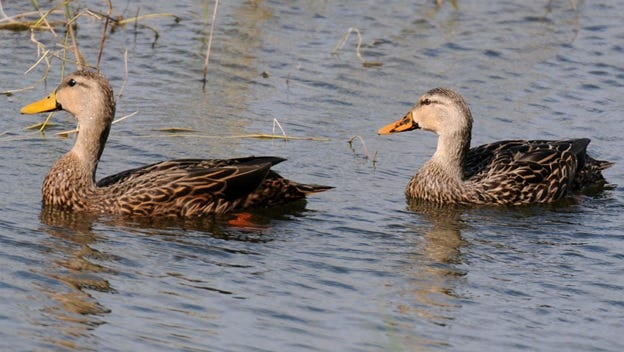 A popular game bird for Louisiana hunters, the mottled duck, is at risk of becoming threatened, according to Audubon Louisiana, and hunting has nothing to do with the problem.