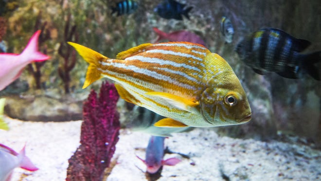 Beautiful fish of all shapes, sizes and colors including this porkfish, can be seen at the Sea Life Arizona Aquarium.