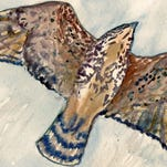 Broad-winged hawks migrate thousands of miles to breed in Western NC.