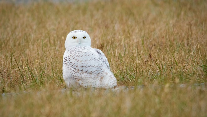 Snowy owl photographed Dec. 14, 2017, at the Kentucky Speedway.