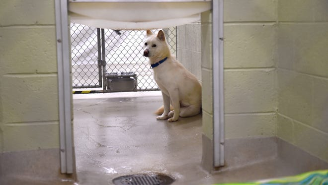 So Mang, an 18-month-old female Jindo, one of the dogs rescued from a South Korean meat market in January, rests inside her pen at the Humane Society of Vero Beach & Indian River County on Feb. 14, 2017. Eleven of the 22 dogs rescued from South Korea are available for adoption. The remainder of the dogs, and seven puppies born from one of the adults at the shelter, may be made available at a later date.