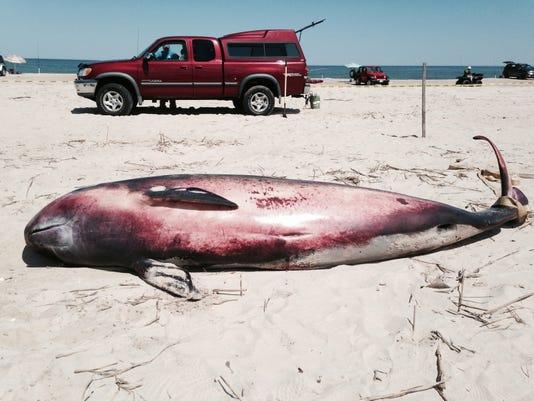 Dead Pygmy Sperm Whale