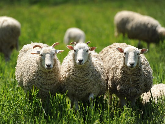 Sheep are one of several different animals at Perennial