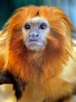 A small monkey called the Golden Lion Tamarin (Leontopithecus rosalia) is seen in a cage at the Hamamatsu Zoo in Shizuoka Prefecture.