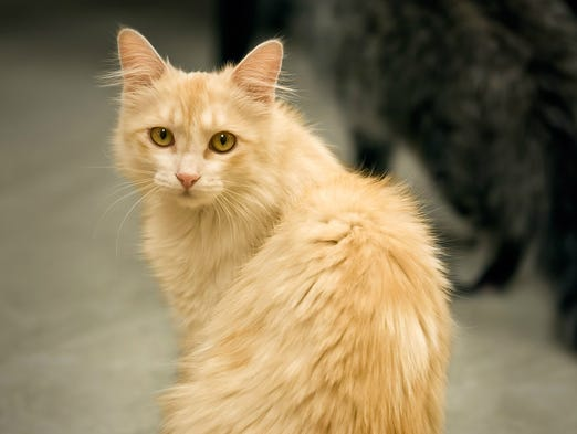 One of the cats up for adoption is Elegant Eve, who was dumped in the desert with her father and brother A gold miner rescued them and brought them to the Humane Society of Wickenburg where they were spayed, neutered, microchipped and given vaccinations.