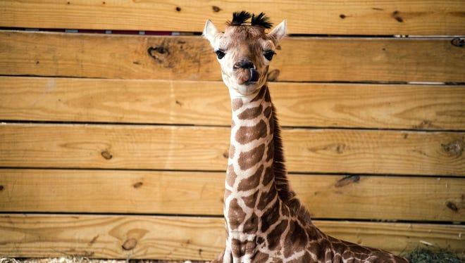April the giraffe's calf, Tajiri, resides at Animal Adventure Park.