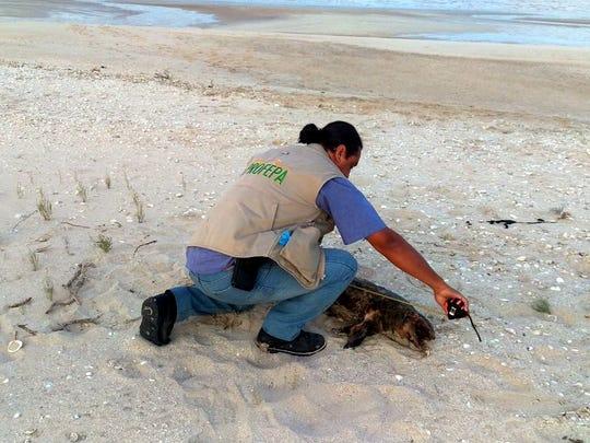 En abril pasado, la Profepa informó que fue encontrada muerta una vaquita marina en las playas de San Felipe, Baja California; es el cuarto hallazgo del año.